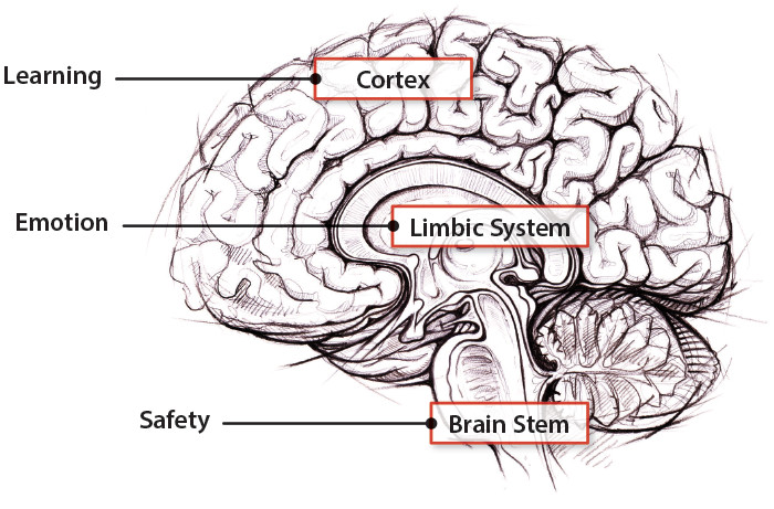 Three main regions of the brain