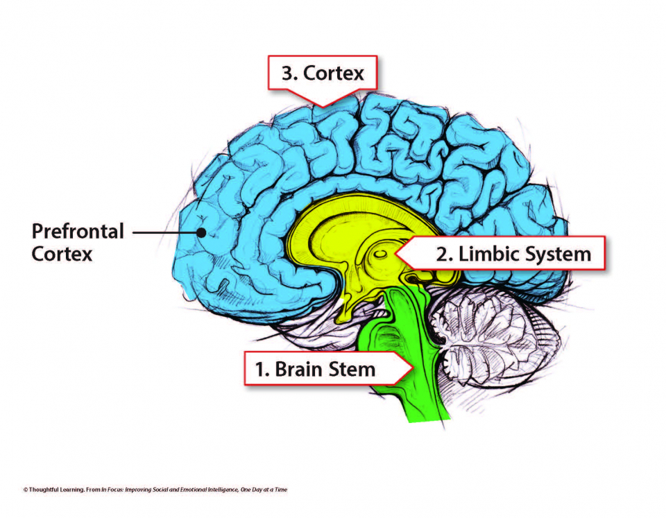 Brain diagram with stem shaded green, limbic system shaded yellow, and cortex shaded blue