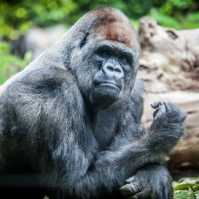 Photo of a gorilla