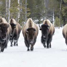 Bison walking on the snow