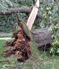 a tree blown over by strong wind
